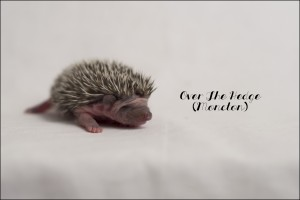 Bébé hérisson (2 semaines)