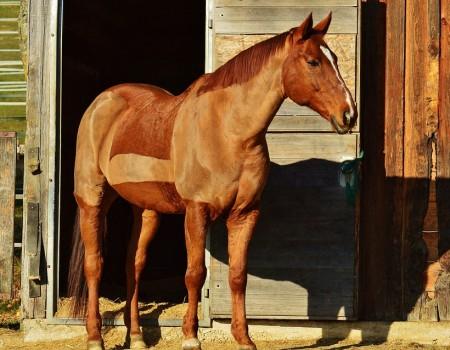Tondre son cheval