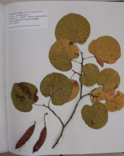 Arbre de judée dans un herbier de feuilles