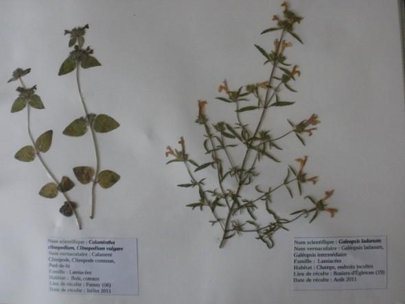 Fleurs séchées dans un herbier