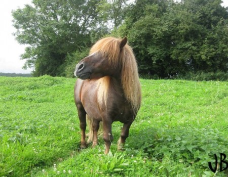 Le poney Shetland