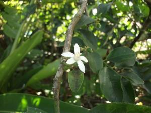 citronnier fleur