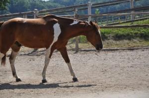 castration du cheval