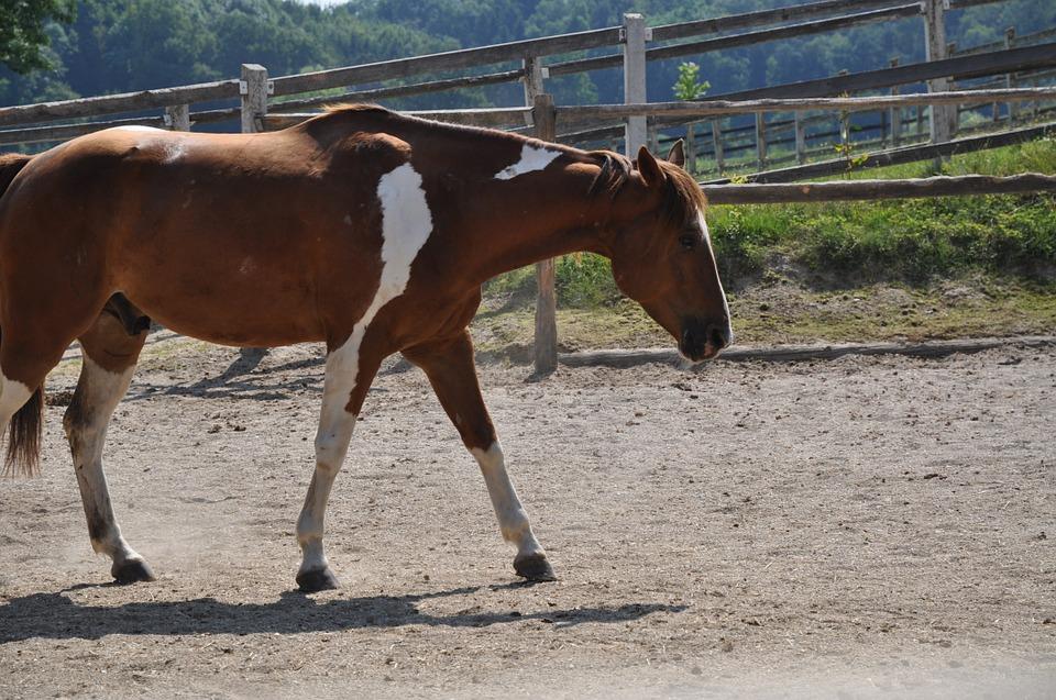La castration du cheval