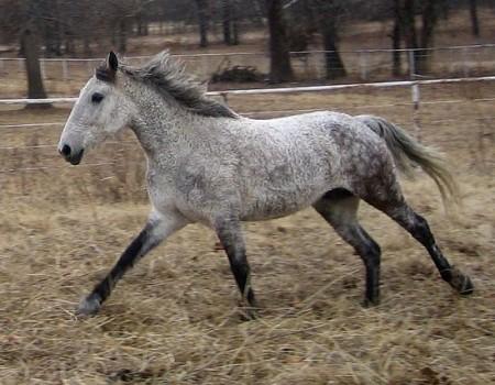 Le Curly, un vrai nounours de cheval
