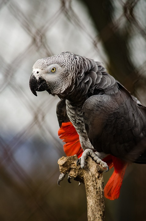 african-grey-parrot-1335399_960_720