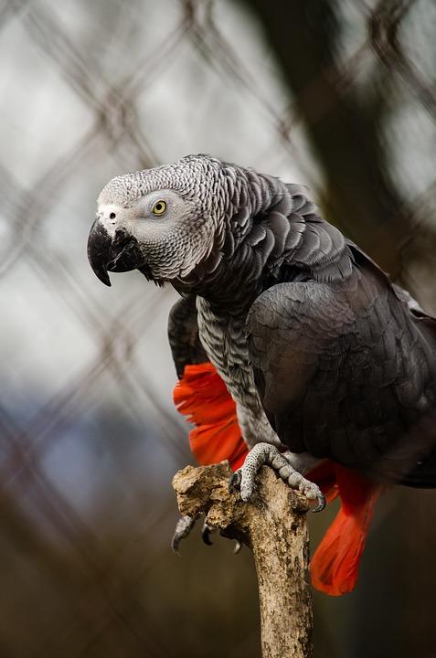 african-grey-parrot-1335399_960_720