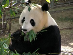 Panda mangeant du bambou
