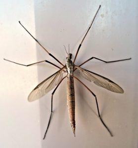 Ce sont de grands insectes inoffensifs