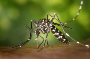 un moustique en train de piquer