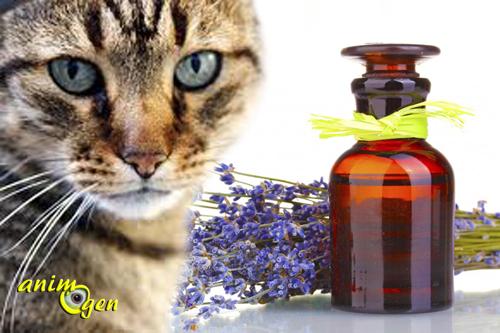 La toxicité des huiles essentielles chez les chats