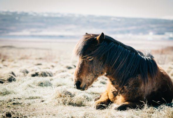 Grippe équine - cheval malade
