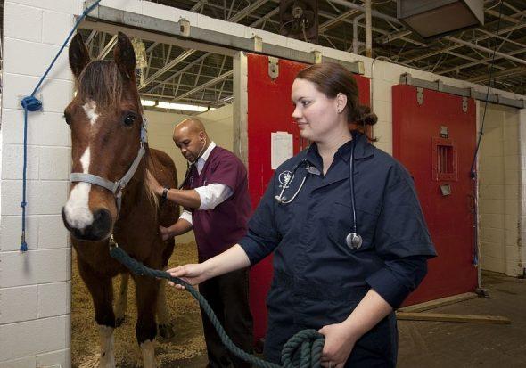 Grippe équine - cheval vétérinaire