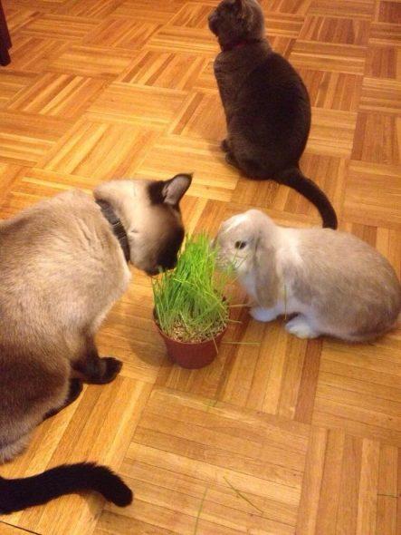 Les lapins peuvent manger de l'herbe à chat