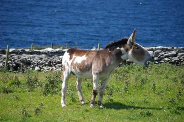 L'âne pie d'Irlande