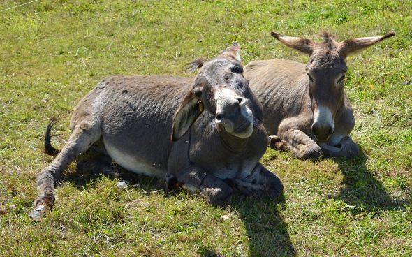 Deux ânes détendus