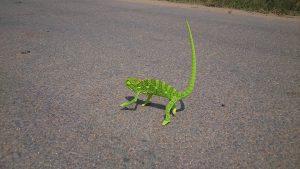 Un caméléon qui se déplace