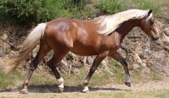 Jeune cheval nommé Doré