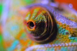 Un oeil de caméléon