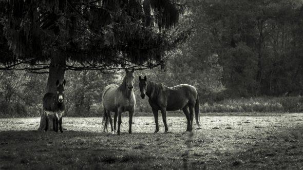 Deux chevaux vivant paisiblement en liberté