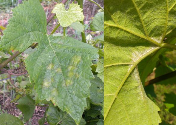 Symptômes de mildiou sur feuilles de vigne