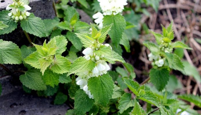 L'ortie : une plante aux bienfaits insoupçonnés
