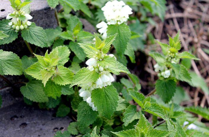 Les orties sont des plantes qui peuvent nous aider au for Plante ortie
