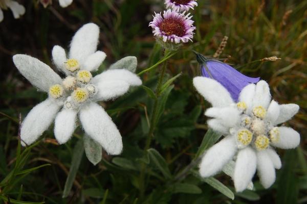 Les Edelweiss font partie des fleurs visibles au Grand Paradis