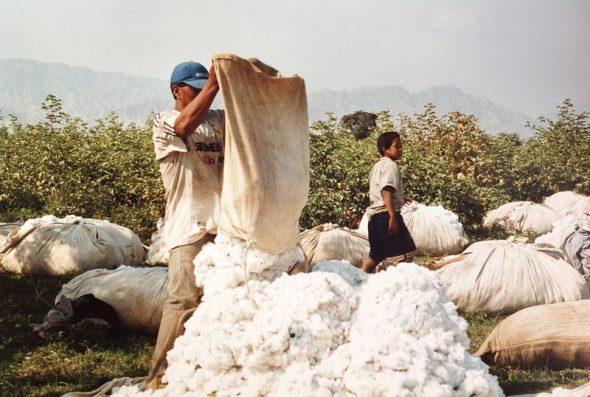 Récolte du coton au Pérou