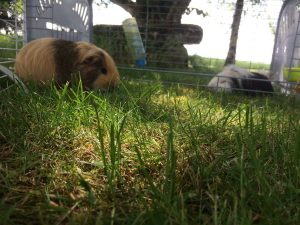 L'herbe fraiche peut remplacer le foin dans l'alimentation du cochon d'inde si vous pouvez lui en fournir