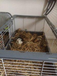 Une cage grande et confortable permet au cochon d'inde de mieux vivre