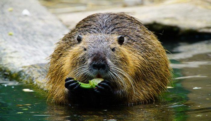 Le castor, notre voisin des rivières