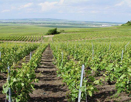 La vigne : le cycle de sa vie