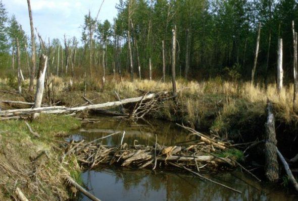 Barrage de castor dans un étang
