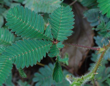 Une plante réactive : le mimosa pudica