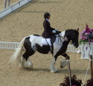 Irish Cob en dressage