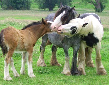 Un cheval au poil : le Tinker