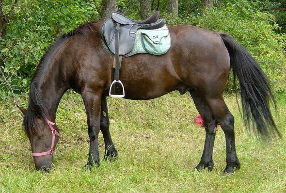 Cheval d'Auvergne