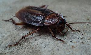 Prix Ig Nobel entomologie - cafard