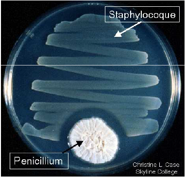 penicilline