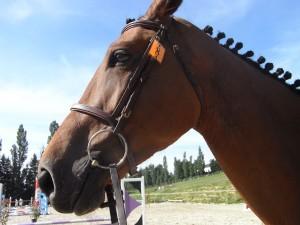 Piontage du cheval