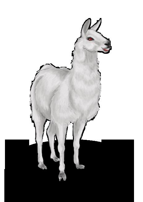 Lama albinos
