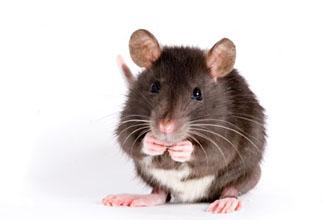 Photo d'un rat de compagnie