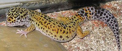 Photo d'un gecko léopard dans son terrarium