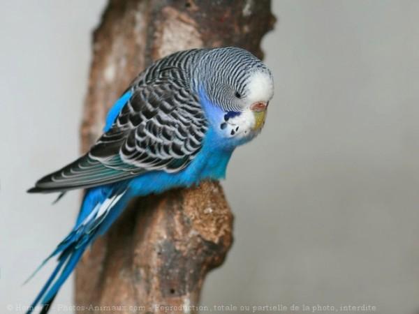 Photo d'une perruche ondulée bleue