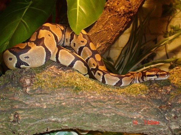 Un autre exemple de NAC, le serpent