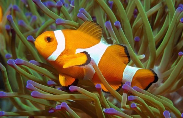 Les poissons aussi font parti des NAC, comme ce poisson clown