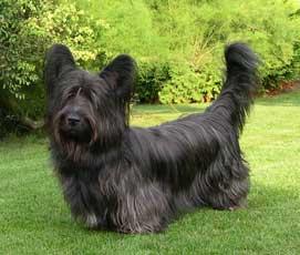 Skye terrier de robe noire