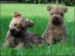 Deux chiots cairn terrier