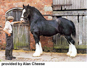 Photographie de cheval Shire